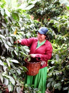 coffee-picking