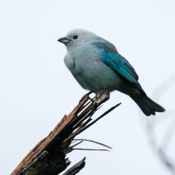 mike-webber-blue-grey-tanager