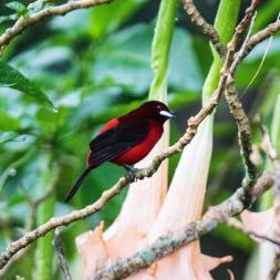 mike-webber-crimson-backed-tanager